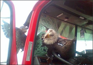 Bald eagle crashes through truck windshield